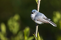 Blue-gray Gnatcatcher (Polioptila caerulea caerulea), Eastern subspecies, male foraging and singing on it's breeding territory at Doodletown, Bear Mountain State Park, New York.
