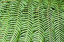 Fern, unknown variety, Great Dixter, mid October.