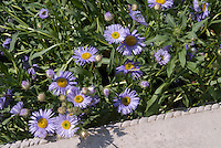 Erigeron speciosus 'Grandiflorus' Fleabane in blue flowers