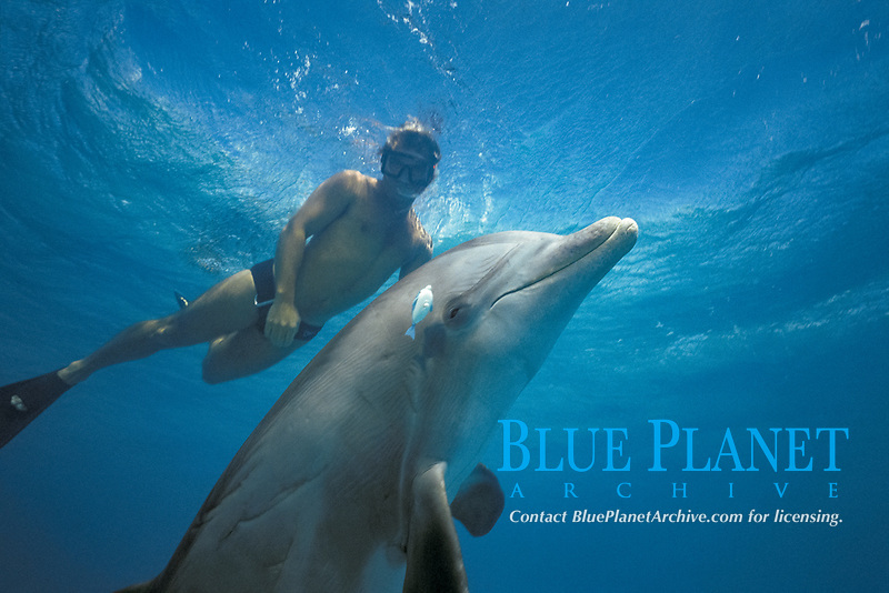 common bottlenose dolphin, Tursiops truncatus, named JoJo - a wild, lone sociable dolphin, or ambassador dolphin, playing with a wind-up toy provided by its friend, Dean Bernal, Providenciales, Turks & Caicos Islands, Caribbean Sea, Atlantic Ocean