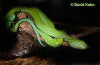 0429-1101  Mexican Palm Pitviper (Rowley's Palm Pit Viper), Very Rare Mexican Snake, Bothriechis rowleyi  © David Kuhn/Dwight Kuhn Photography
