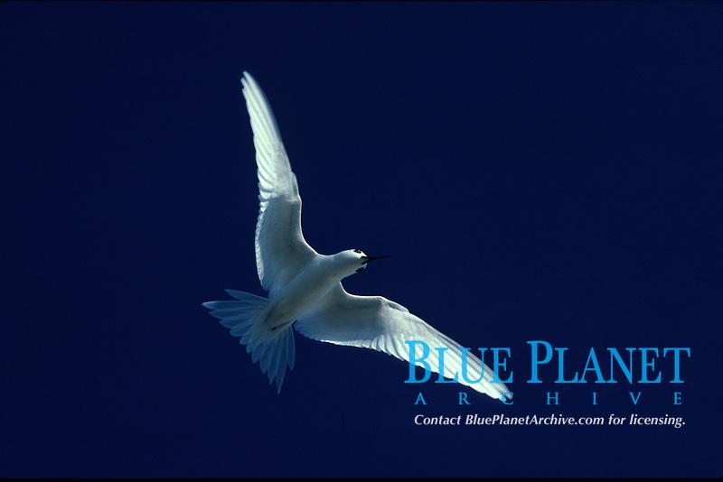 bird, White Tern, Gygis alba, Adult in flight over Sand Island, Midway Atoll, Papahanaumokuakea Marine National Monumen, Northwestern Hawaiian Islands, or Leeward Islands, Hawaii, USA, Pacific Ocean