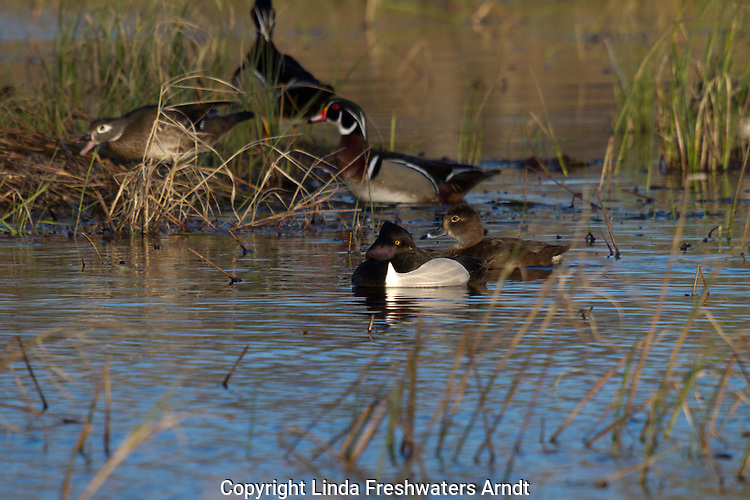 Breeding pair of ring-necked ducks swimming in northern Wisconsin.
