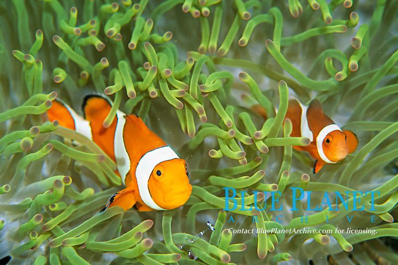Clown anemonefish, Amphiprion ocellaris, Amami-ohsima island, Kagoshima, Japan, Pacific Ocean