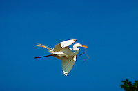 A Great Egret in flight.