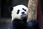 Foto: VidiPhoto<br /> <br /> RHENEN – Je bent precies één jaar oud en in een boom hangt speelgoed en lekkers. Feest dus. Maar niet heus. Terwijl het jarige reuzenpandagjong Fan Xing in Ouwehands Dierenpark in Rhenen binnen lekker lag te slapen zaterdag, at moeder Wu Wen de feestboom leeg. Na een lange diepe slaap kwam het pandajong eindelijk naar buiten en begon te doen waar hij goed in is: klimmen. Maar niet in de feestboom. Publiek zal nog even moeten wachten voordat ze het diertje weer kunnen zien omdat het park op dit moment vanwege de coronamaatregelen nog gesloten is en dat voorlopig ook blijft. Fan Xing zal nog maximaal drie jaar in Ouwehands Dierenpark blijven en gaat dan naar China om bij te dragen aan het fokprogramma. De reuzenpanda is een bedreigde diersoort en komt alleen in China in het wild voor.