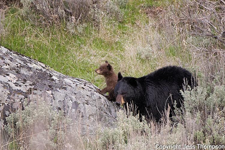 Black Bear with cub, Yellowstone National Park