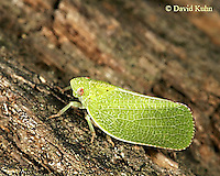 1007-06tt Acanaloniid Planthopper - Acanalonia conica - © David Kuhn/Dwight Kuhn Photography