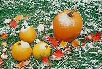 Frost on the pumpkin-- early fall snow near Halloween creates a beautiful still life of pumpkins, grass, and leaves