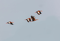 Four Black-Bellied Whistling-Ducks in flight against blue sky
