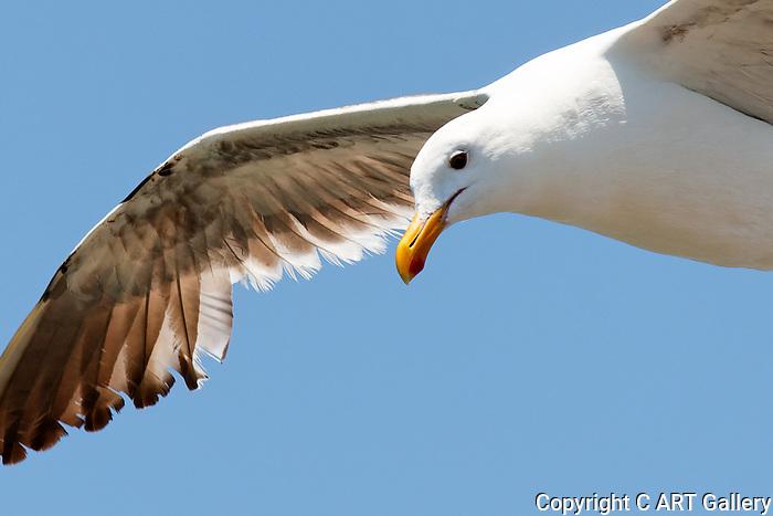 Seagull in Seal Beach, CA.