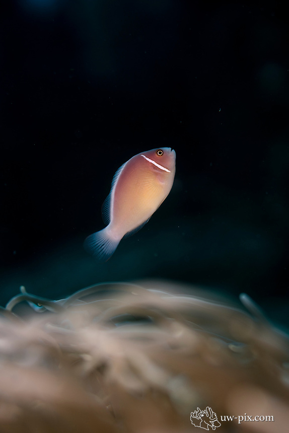 The Skunk anemonefish or nosestripe anemonefish (Amphiprion akallopisos) lives in association with sea anemones.