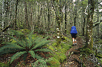 A tramper on a track through the beech forest near Anne Saddle on St. James Walkway -  Lewis Pass National Reserve