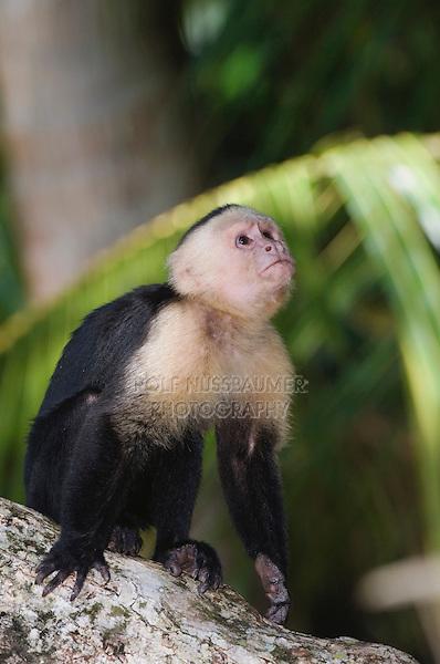 White-faced Capuchin, Cebus capucinus, adult on palm tree, Manuel Antonio National Park, Central Pacific Coast, Costa Rica, Central America
