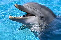 performing bottlenose dolphin, Tursiops truncatus, San Diego, California