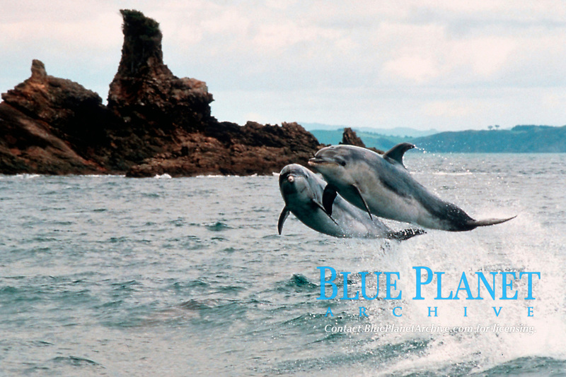 two bottlenose dolphins, Tursiops truncatus, leap in unison, Bay of Islands, New Zealand, Pacific Ocean