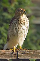 Immature (first winter) Cooper's hawk eyeing my bird feeders