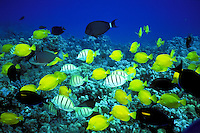 Yellow tang fish above coral reef at Hanauma Bay, Oahu, a snorkelers paradise
