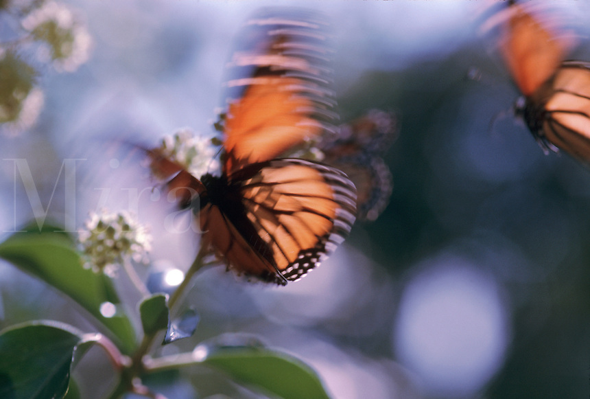 A Monarch butterfly in motion as it lands atop a plant.