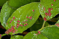 Pflaumenblatt-Gallmilbe, Gallmilbe, Gallen auf den Blättern von Prunus, Eriophyes padi prunianus, gall mite, gall mites, eriophyiid mites