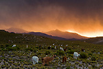 Llama (Lama glama) herd and storm, Abra Granada, Andes, northwestern Argentina