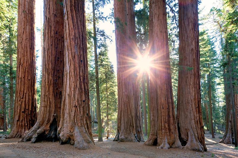 Sunburst through Giant Sequoia (Sequoiadendron giganteum) Sequoia National Park, California