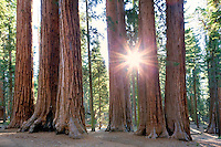 Sunburst through Giant Sequoia (Sequoiadendron giganteum) Sequoia National Park, California