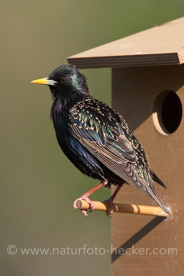 Star am Nistkasten, Sturnus vulgaris, European starling