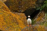 Horned puffin, Katmai National Park, Alaska, USA