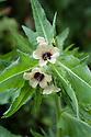 Henbane (Hyoscyamus niger), mid June. Also known as stinking nightshade or black henbane.