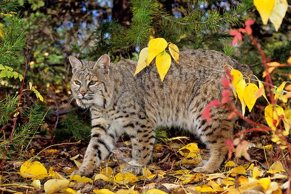 Bobcat (Lynx rufus).  Western U.S., fall--walking among cottonwood tree leaves.