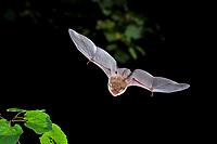 Natterer's Bat (Myotis nattereri) in flight, Thuringia, Germany, Europe