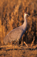 Sandhill Crane, Grus canadensis,adults in corn field, Bosque del Apache National Wildlife Refuge , New Mexico, USA