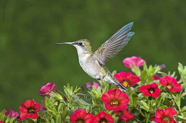 Ruby-throated Hummingbird (Archilochus colubris) female in backyard flower garden, summer, Nova Scotia, Canada.