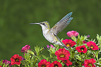 Ruby-throated Hummingbird (Archilochus colubris) female in backyard flower garden, summer, Nova Scotia, Canada.