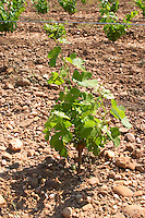 marsanne recently planted vines vineyard mas du notaire rhone france