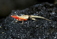 A female lava lizard is photographed on a lava rock on  Isabela Island in the Galapagos.