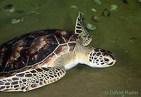 0606-0907  Atlantic Green Sea Turtle Swimming Underwater, Chelonia mydas  © David Kuhn/Dwight Kuhn Photography