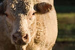 Brazoria County, Damon, Texas; a tight portrait of a Charolais bull in early morning sunlight