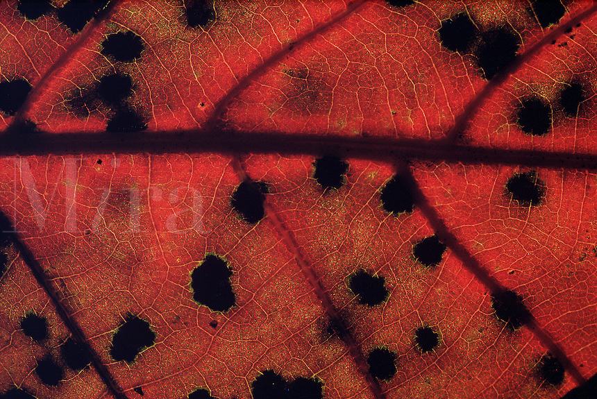 Detail of red oak leaf #5477.