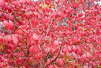 Burning Bush Euonymus alatus Compactus in autumn color and berries