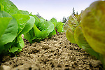 Organic vegetable field. Lettuces.