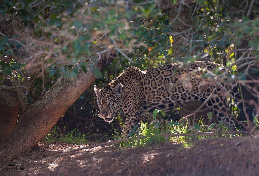 """Female Jaguar (Panthera onça), with two cubs nearby, emerges from heavy cover to drink from the Cuiabà River.  This cat earned its nickname, the """"Shadow Cat."""""""