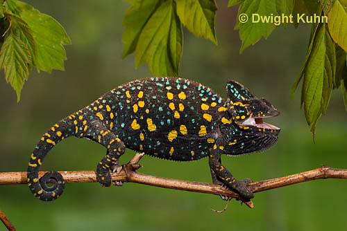 CH39-508z  Female Veiled Chameleon in display colors, Chamaeleo calyptratus