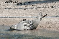 Hawaiian monk seal, Neomonachus schauinslandi( Critically Endangered ), 2.5 year old male (tags B18/B19) stretches and shows off its tags, Pu'uhonua o Honaunau ( City of Refuge ) National Historical Park, Kona, Big Island, Hawaii, USA, Pacific Ocean