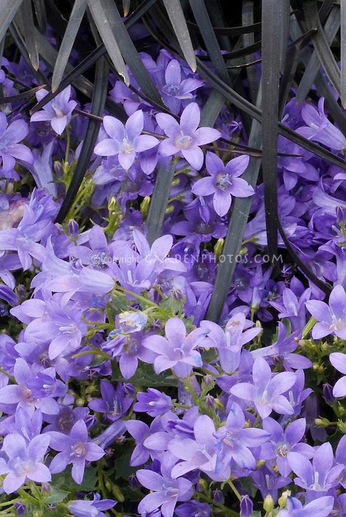 Campanula poscharskyana Catharina and Ophiopogon plansicapus 'Nigrescens' black mondo ornamental grass