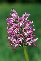 Affen-Knabenkraut, Affenknabenkraut, Orchis simia, monkey orchid, L'orchis singe