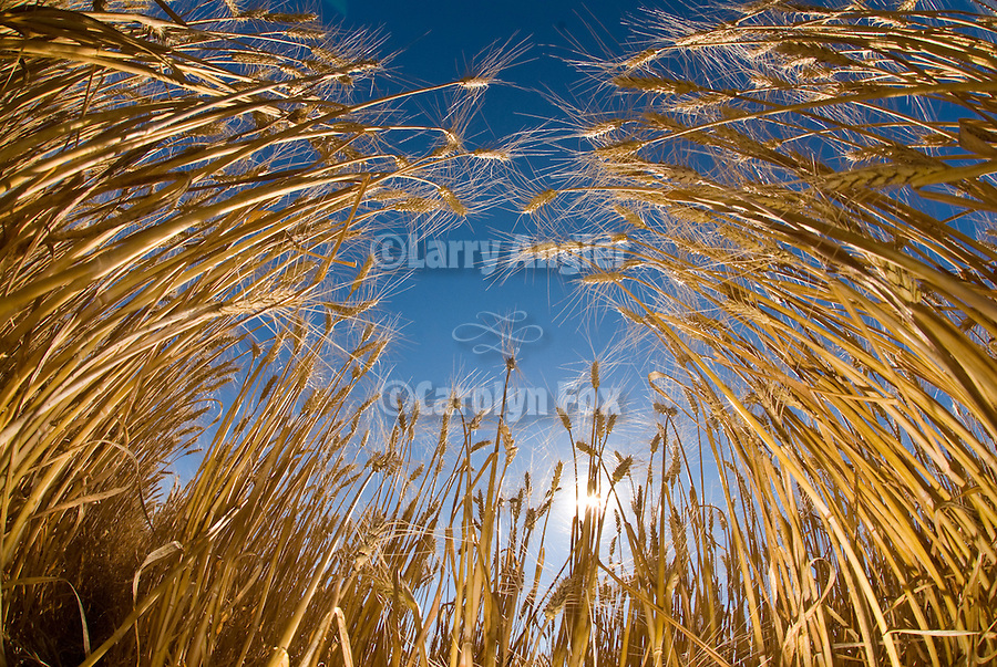 Ripening wheat in a field, morning on the prairie in North Dakota<br /> <br /> Sunrise in the wheat field from the view of a grasshopper.