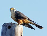 Adult aplomado falcon