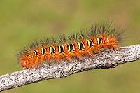 Echo Moth (Seirarctia echo) caterpillar (larva), Highlands Hammock State Park, Sebring, Florida.